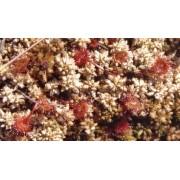 טללית עגולת העלה | דרוסרה